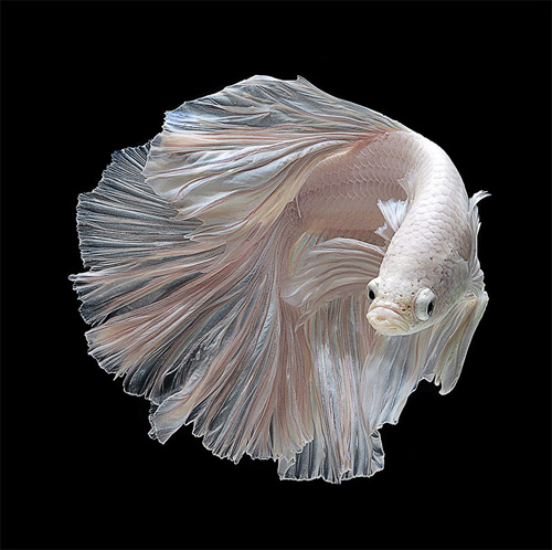 Strangely beautiful portraits of betta fish